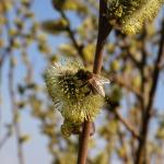 Пчела на цветке вербы 3