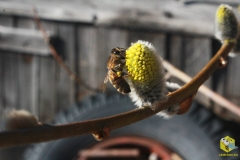 Пчела на вербе