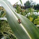 Присела отдохнуть на лист кукурузы
