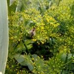 Пчела на укропе
