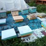 Пчелы будут сидеть под крышей до морозов, затем осыпятся и пойдут на подмор