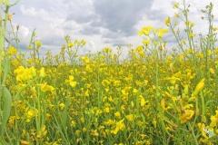 Поле красивое, мёд вкусный, но запах на поле специфический...