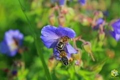 Пчелы не поделили цветок луговой герани