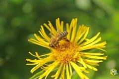 Пчела на цветке девясила иволистного