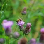 Пчела на бодяке, розовом осоте.