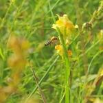 При работе на льнянке пчелы измазывает спину в пыльце