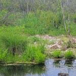 Сабельник болотный