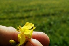 Цветок рапса