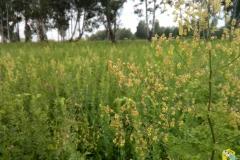 Василистник жёлтый - Thalíctrum flávum