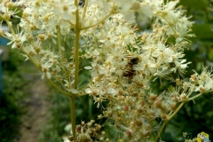 Пчела на белоголовнике