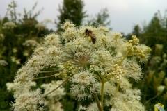 Пчела на русянке с обножкой собранной на лабазнике 4
