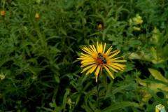 Пчела на Девясиле Иволистном - Pentanéma salicínum