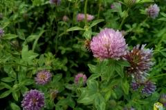 Клевер розовый - Trifólium hybrídum