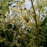 Пчела прячется в лабазнике
