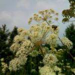 Пчела с обножкой с белоголовника летит на цветок русянки