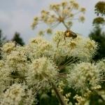 Пчела на русянке с обножкой собранной на лабазнике