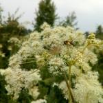 Пчела на русянке с обножкой собранной на лабазнике 3