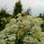 Пчела на русянке с обножкой собранной на лабазнике 5