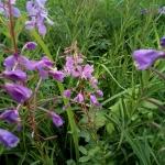 Пчела подлетает к цветку Иван-чая