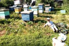 Среднерусские пчёлы не такие злые как говорят...