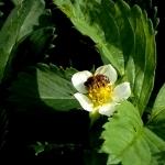 Пчела на клубнике