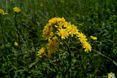 Какой-то сложноцветный июньский цветок