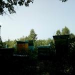 Вид на пасеку из березового околка