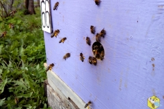 Пчелы работают на иве