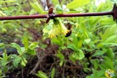 Пчела работает на цветке жимолости