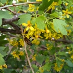 Пчела на цветке Барбариса. 29 мая 7:15 утра.