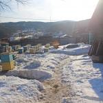 Выносили пчел по холоду, даже снег остался чистым