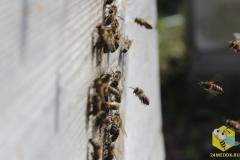 Пчелы работают на первоцветах. Фото 2. 17 мая