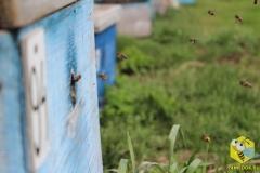 Пчелы спешат домой, 17 мая