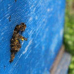 Пчелы собирают пыльцу. 17 мая