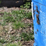 Пчелы собирают первый нектар. 1 мая