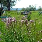 Розовый осот (Бодяк) на фоне пасеки