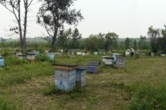 Панорама. Кочевая пасека Старчевских. 5 июля 2012 год. Карпатские пчелы