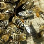 Пчела тащит прополис в улей :)