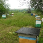 Кочевая пасека Старчевских. 5 июля 2012 год. Улово. Карпатские пчелы