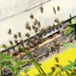 Кочевая пасека Старчевских. 25 июля 2012 год. Улово. Карпатские пчелы