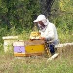 Кочевая пасека Старчевских. 31 июля 2012 год. Улово. Карпатские пчелы