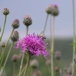 Пчела собирает пыльцу с василька