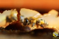 Пчелы собирают прополис со дна улья (вид через нижний леток)