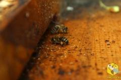 Пчелы собирают прополис со дна улья