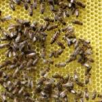 Матка (королева пчел) на свежеотстроенном соте