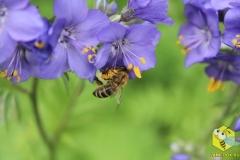 Пчела на синюхе голубой 2