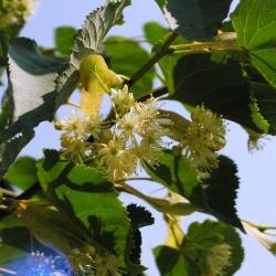 Цвет липы