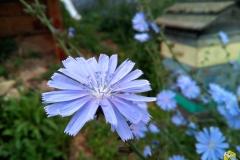 14 июля. Цветет Цикорий