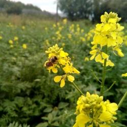 Пчела на Свербиге