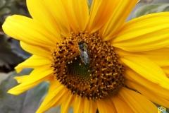 Пчелка на подсолнухе